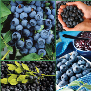 Blueberry Bounty CA sp17 image only 72