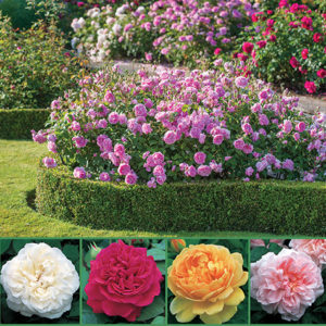 David Austin Fragrant Roses sp17 image only C - 72