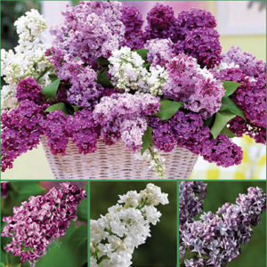 Fragrant Double Lilacs image sp17RGB - 72