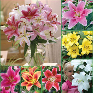 Fragrant Oriental Lily Mix sp17 image only - 72