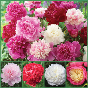 Fragrant Peonies sp 17 image only - true - 72