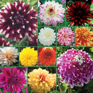 Large Cut Flower Dahlia Collection Sp17 image only - 72