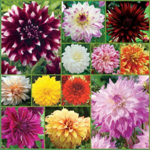 Large-Cut-Flower-Dahlia-Collection-Sp18-image-only