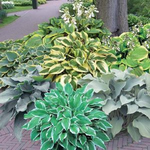 Shady Spaces Hosta Garden sp17 image only - 72