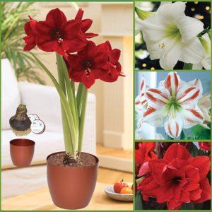 Amaryllis Gift Kit CA F17 image