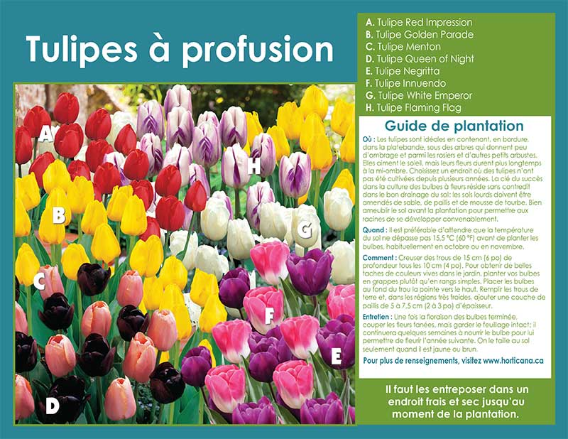 Tulips Galore - French Instructions