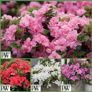 Reblooming-Azalea-Collection-S18-image-only