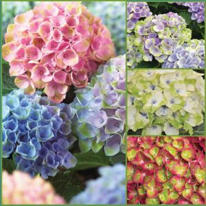Reblooming-Hydrangea-S18-image-only