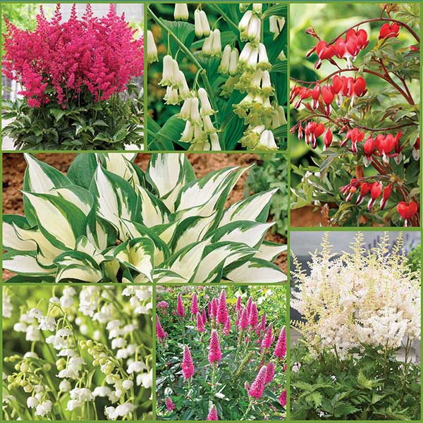 Shade Loving Perennial Garden Collection