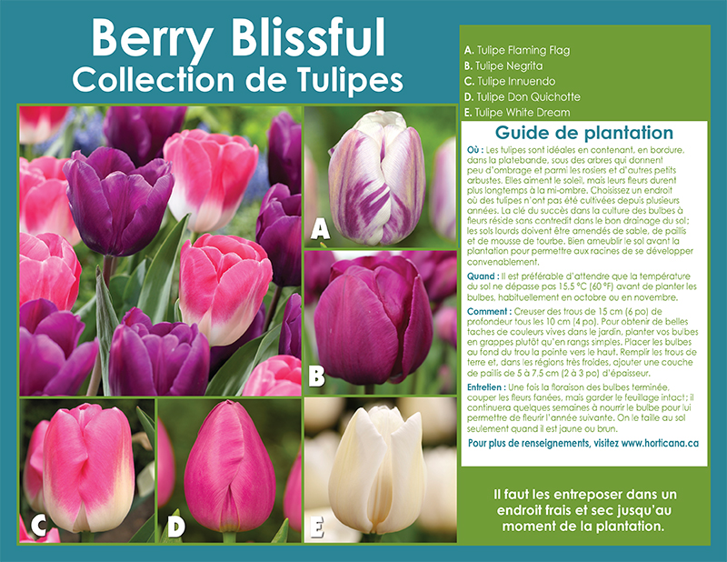 Berry Blissful Tulips Collection - French Instructions