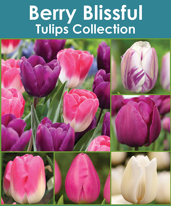 Berry Blissful - Tulips Collection