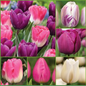 Berry Blissful Tulips Collection - Feature