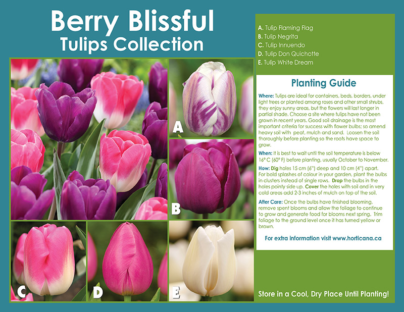 Berry Blissful Tulips Collection - English Instructions