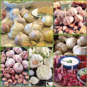 Canadian Grown Gourmet Garlic - Feature