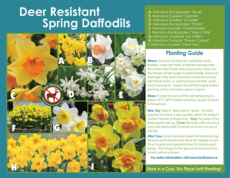 Deer Resistant Spring Daffodils - English Instructions