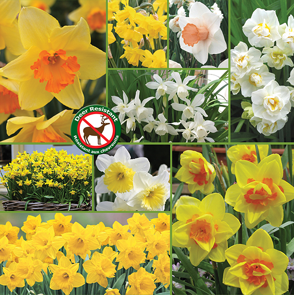 Deer Resistant Spring Daffodils