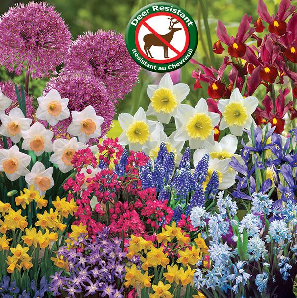 Deer Resistant Spring Flowering Bulbs - Feature