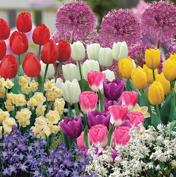 Extra Hardy Spring Flowering Bulbs