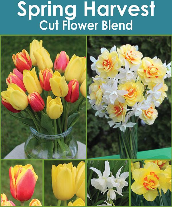Spring Harvest Cut Flower Blend