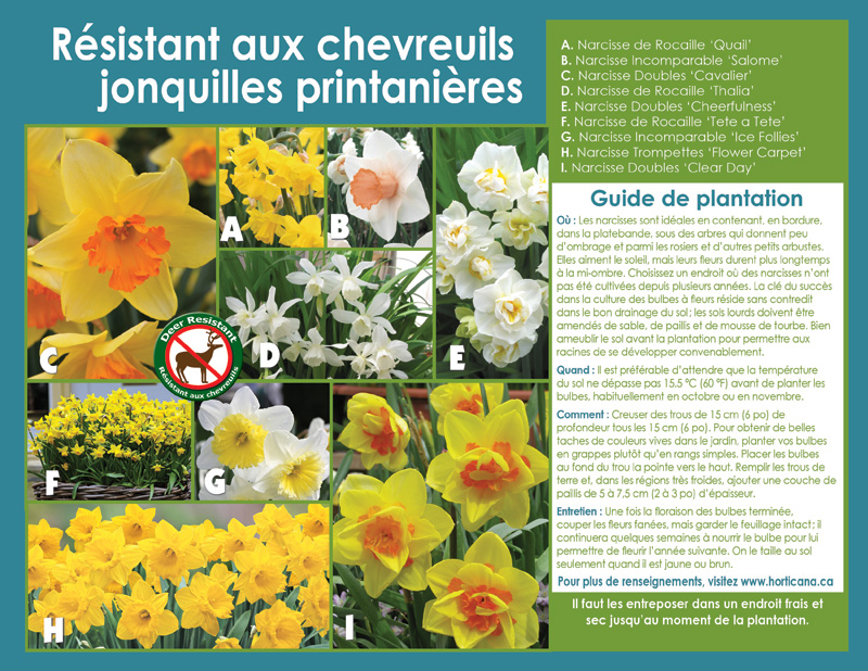 Deer Resistant Spring Daffodils - French Instructions