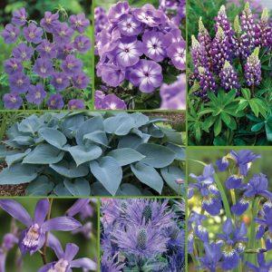 Blue Sapphire Summer Garden - Feature