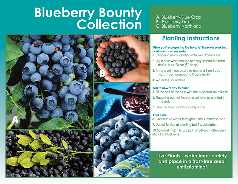 Blueberry Bounty Shrub Collection- Planting Instructions - English