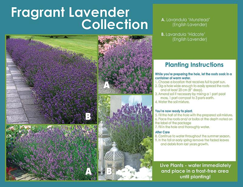 Fragrant Lavender Collection
