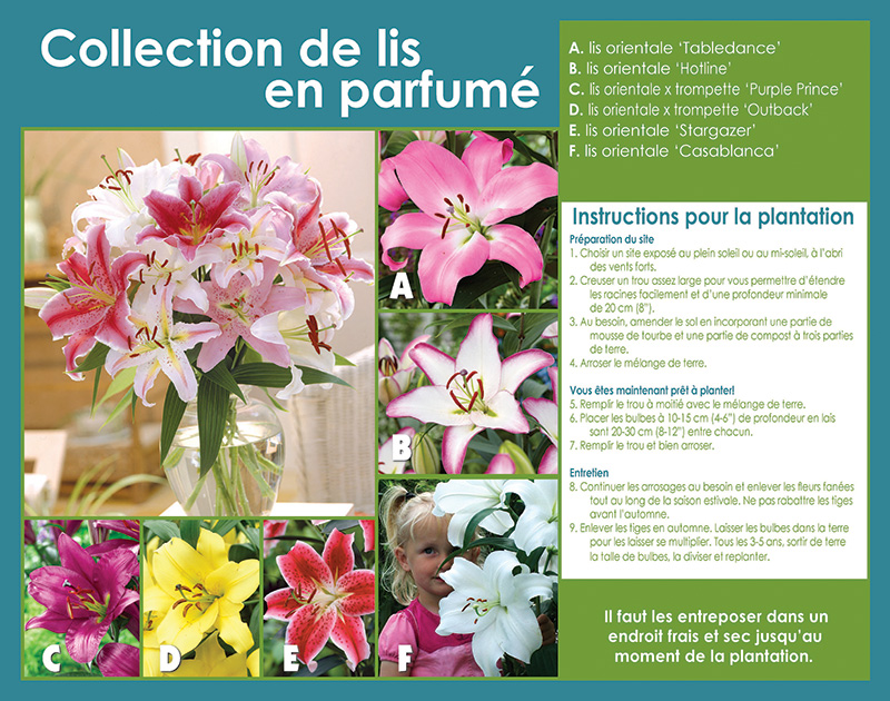 Fragrant Oriental Lily Collection - Planting Instructions - French