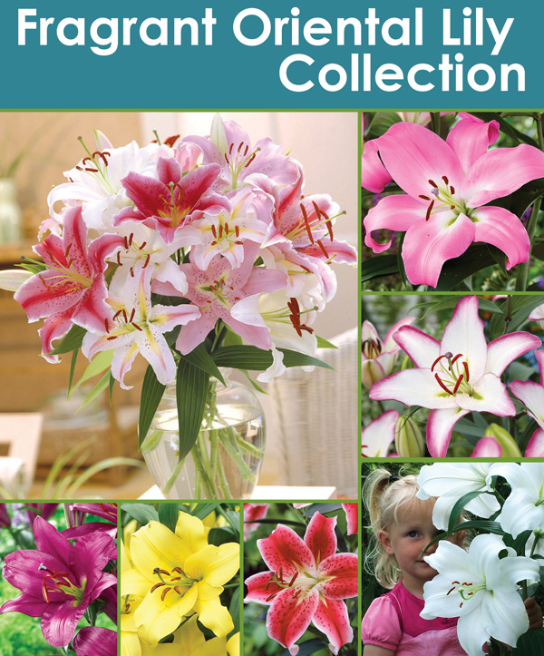 Fragrant Oriental Lily Collection - Thumbnail
