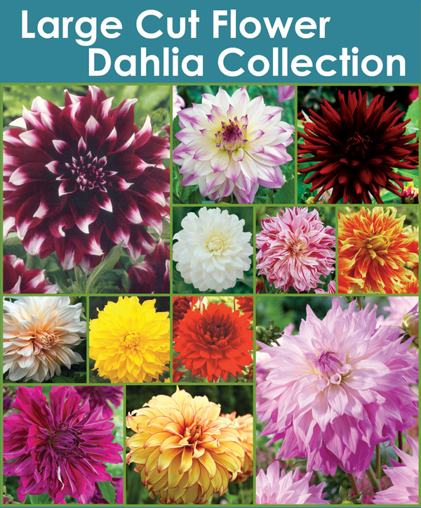 Large Bloom Dahlia Collection - Thumbnail