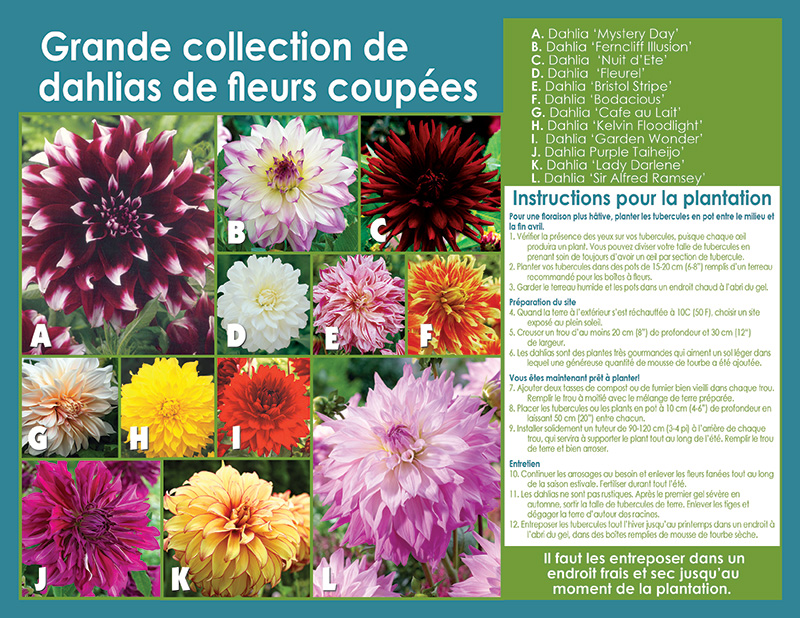 Large Cut Dahlia Collection - Planting Instructions - French