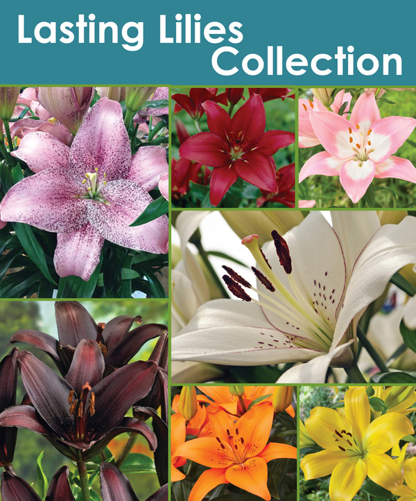 Lasting Lilies Collection - Thumbnail