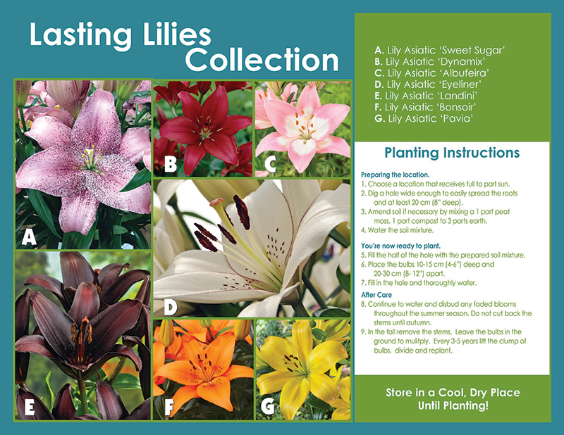 Lasting Lily Collection - Planting Instructions