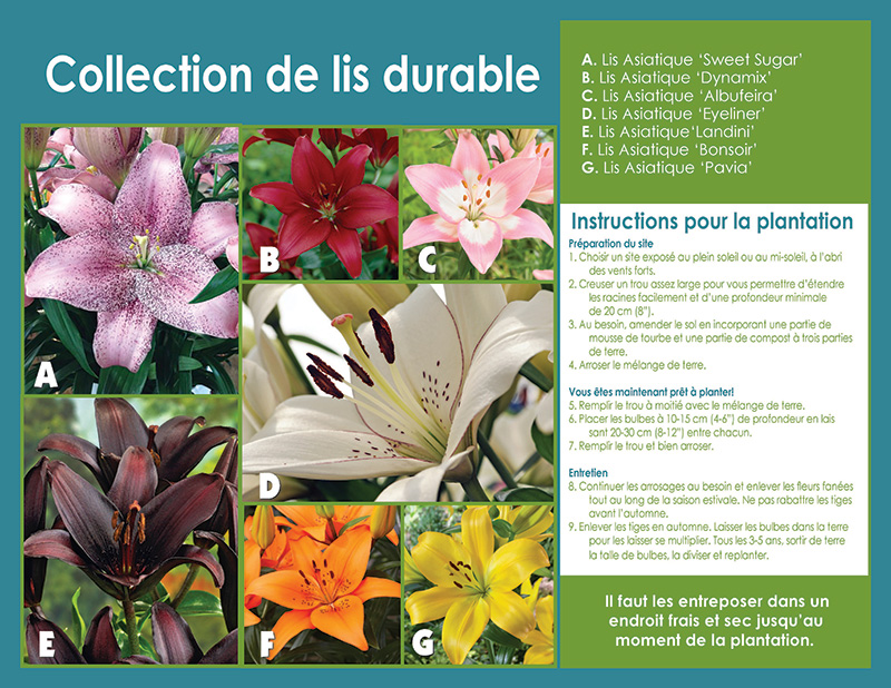 Lasting Lily Collection - Planting Instructions - French