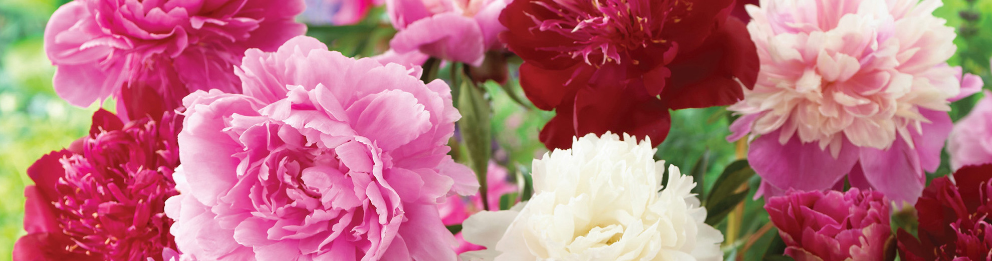 Peony Mix Collection