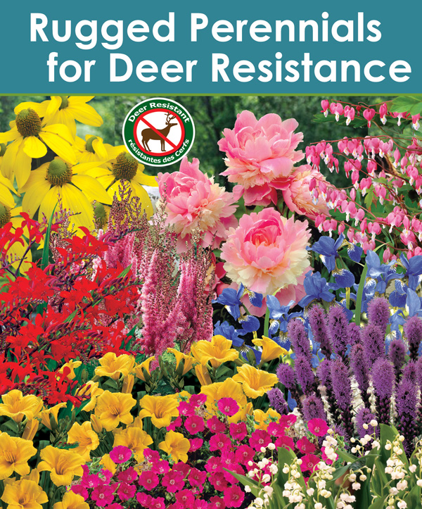 Rugged Perennials Deer Resistant Assortment - thumbnail