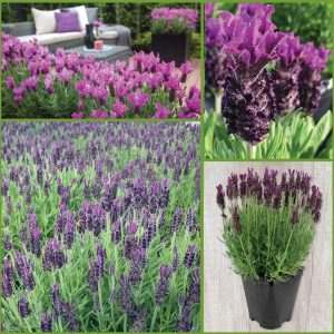 Aromatic Spanish Lavender Collection image only