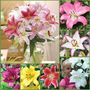 Fragrant Oriental Lily Mix Sp19 image only