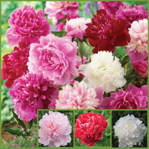 Fragrant Peonies sp20 image only