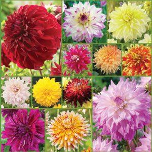 Big Show Cut Flower Dahlia Collection sp 20 Pl inst alternate Ap 9'20 image only
