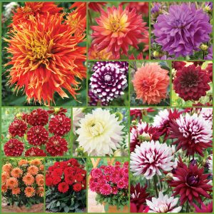 I Love Dahlias Collection sp 20 Pl inst New Ap 9'20 image only