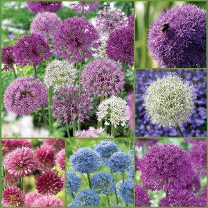 Amazing Alliums f20 Pl instCA image only