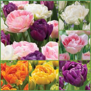 Double Your Joy Tulips f20 image only
