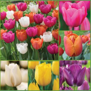 Totally Tulips f20 image only