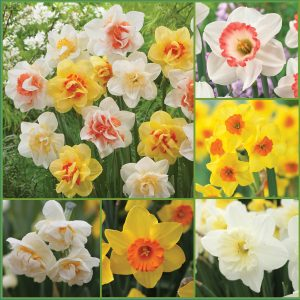 Daffodil Galore Deer Resist CA F20 image only
