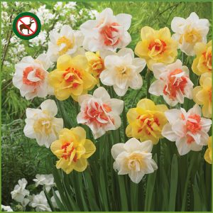 Double Vision Daffodil Collection CA F20 image only