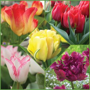 I love tulips f20 image only