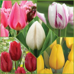 Tulip Time Collection f20 image only
