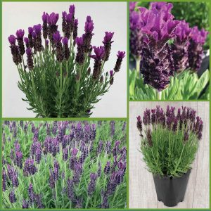 Aromatic Spanish Lavender sp21 image only_sm