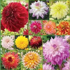 Big Show Cut Flower Dahlia Collection sp 21 image only_web